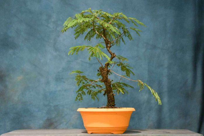 Tropical Mimosa