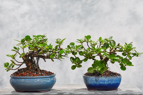 green island bonsai