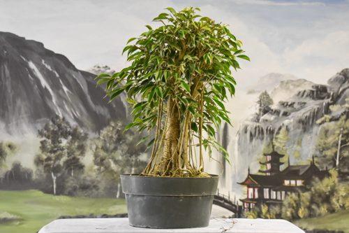 Pre-Bonsai Trees