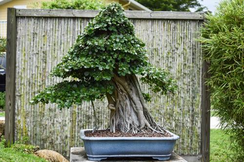 Peg Graft Green Island Ficus