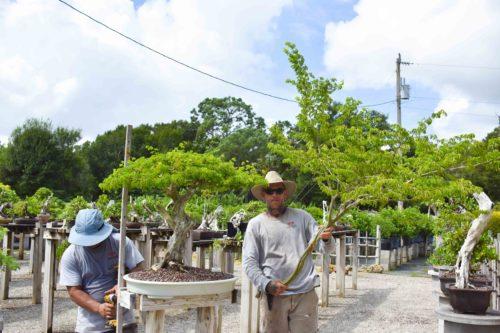 Wigert's Brazilian Raintree Specimen