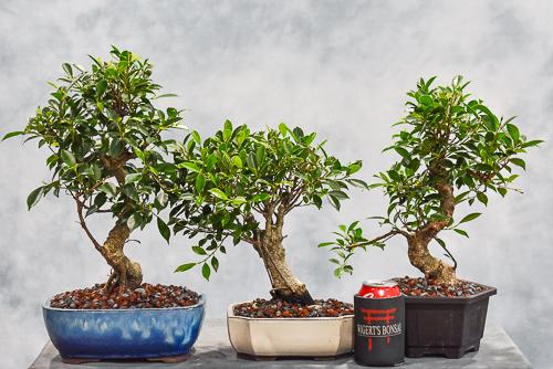tiger bark bonsai