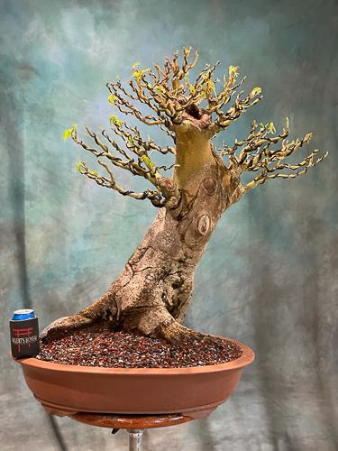 kapok bonsai