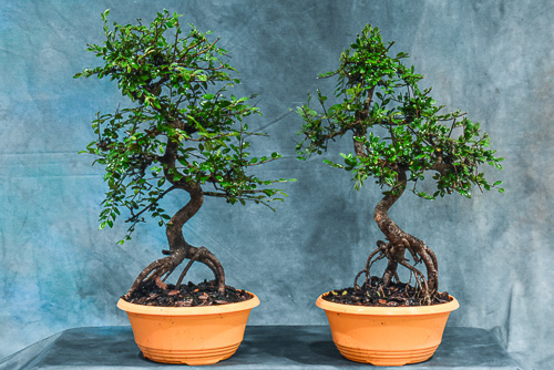 exposed root chinese elm