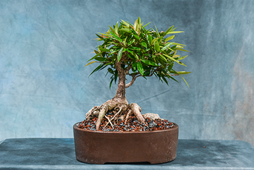willow leaf bonsai root over rock