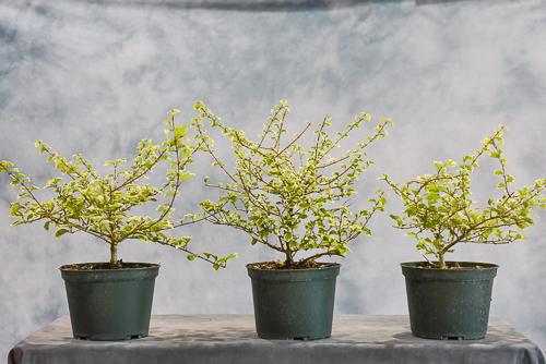 variegated gmelina