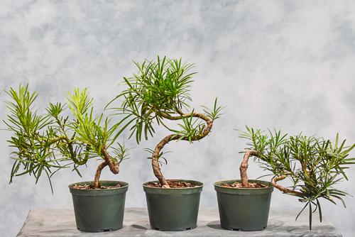 curve trunk podocarpus
